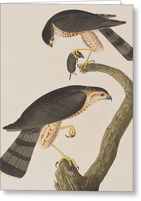 Sharp Claws Greeting Cards - Sharp-shinned Hawk Greeting Card by John James Audubon