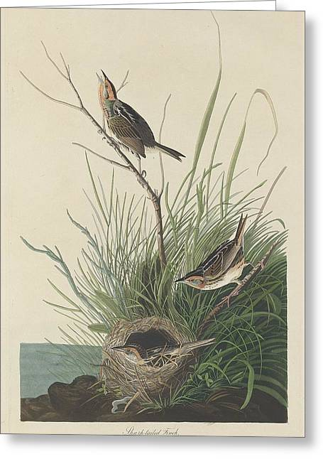 Small Bird Greeting Cards - Sharp-Tailed Finch Greeting Card by John James Audubon