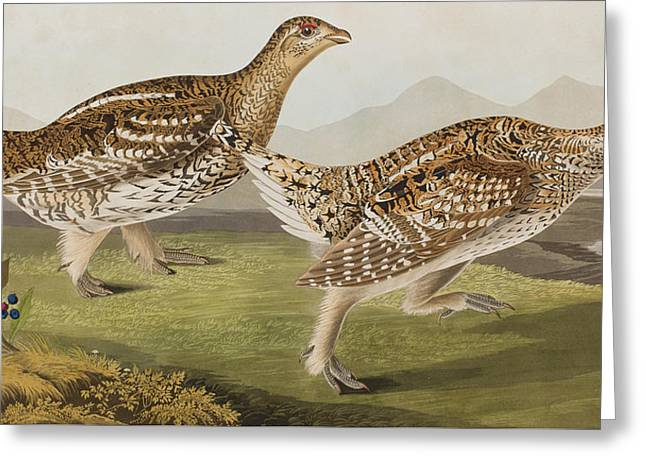 Tails Drawings Greeting Cards - Sharp Tailed Grouse Greeting Card by John James Audubon