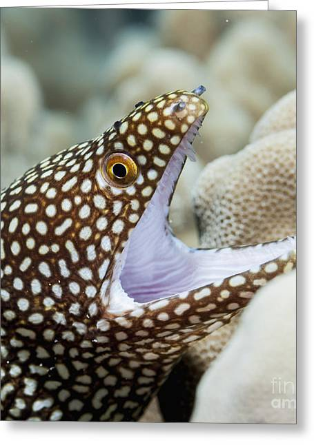 Undersea Photography Photographs Greeting Cards - Whitemouth Moray Eel Greeting Card by Thomas Kline