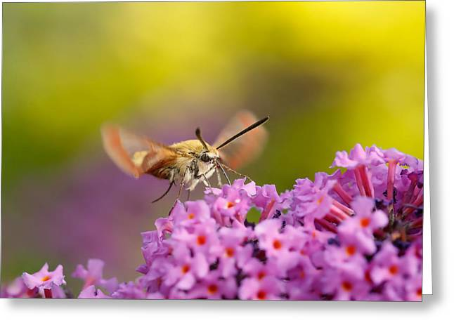 Hovering Greeting Cards - Like a Rainbow - broad bordered bee hawk-moth Greeting Card by Roeselien Raimond