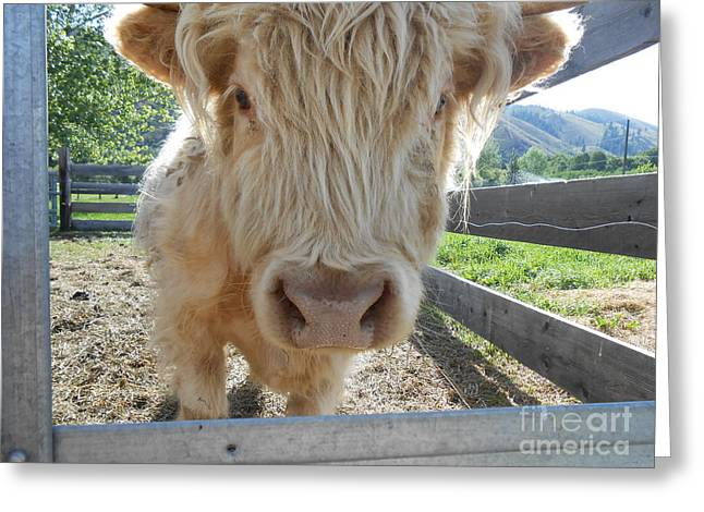 Steer Greeting Cards - She Named Me Beef Stew Greeting Card by LKB Art and Photography
