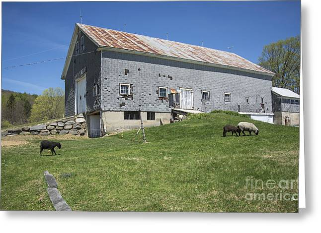 Old Maine Barns Greeting Cards - Sheep Farm Greeting Card by Alana Ranney