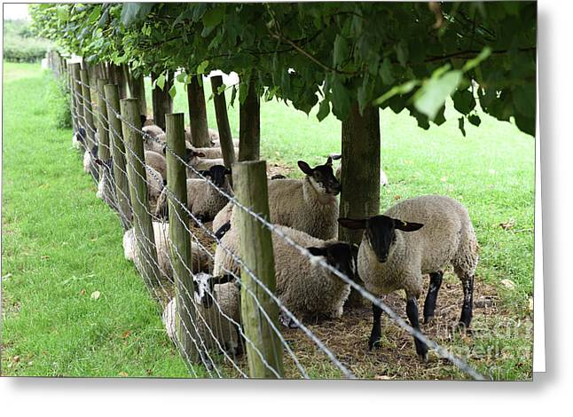 Sheep Finding Shade Greeting Card by Russell Binns
