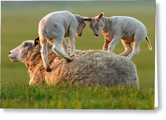 Leap Greeting Cards - Sheep Leaping Lambs Greeting Card by Roeselien Raimond