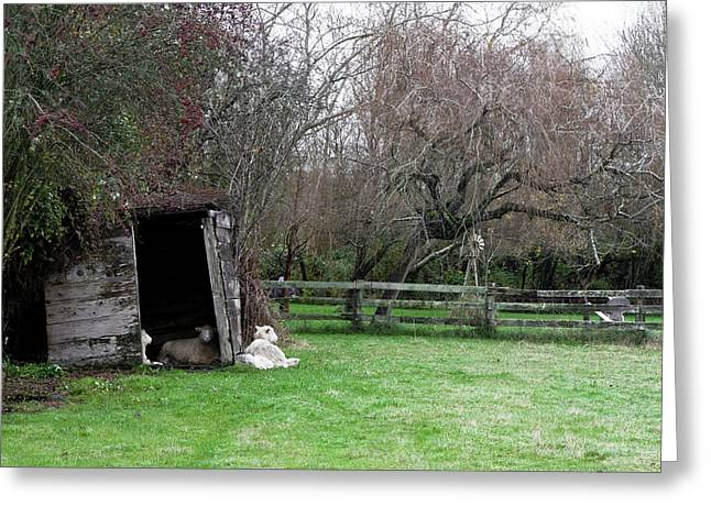 Sheep Shed Greeting Card by Lorraine Devon Wilke