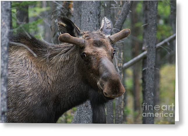 Love The Animal Greeting Cards - Sheepish Bull Moose Greeting Card by Stanza Widen