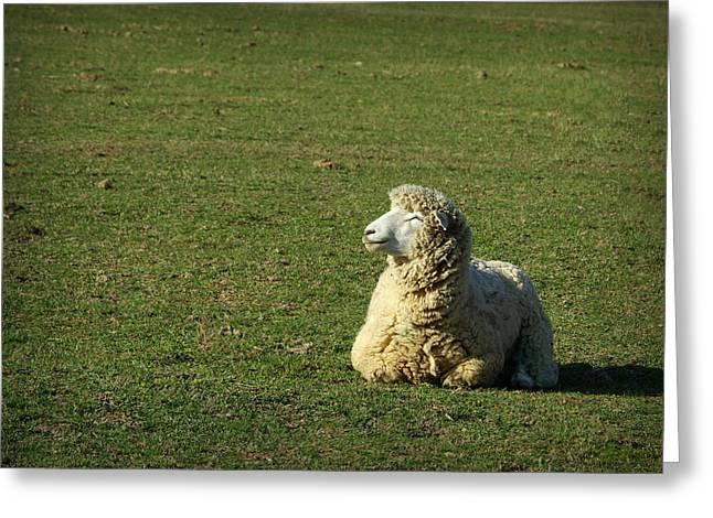 Country Woolies Greeting Cards - Sheepish Smiles Greeting Card by Linda Mishler