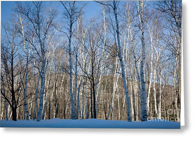 Wild And Scenic Greeting Cards - Shelburne Birches in Snow Greeting Card by Susan Cole Kelly
