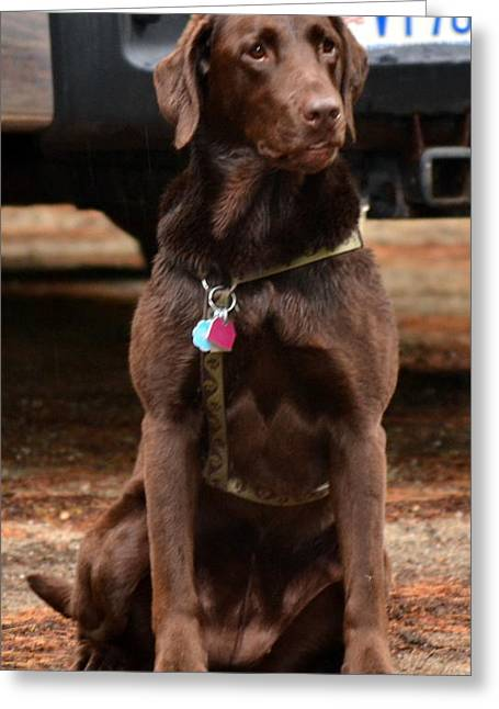 Chocolate Lab Greeting Cards - Shelby Greeting Card by Colleen Phaedra
