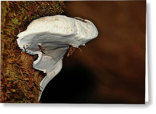 Rainforest Greeting Cards - Shelf Fungus on bark - Quinault temperate rain forest - Olympic Peninsula WA Greeting Card by Christine Till