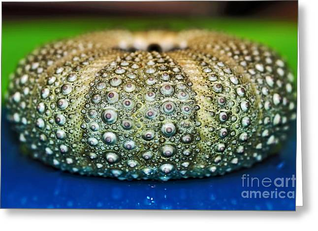 Seashell Art Greeting Cards - Shell with Pimples Greeting Card by Kaye Menner