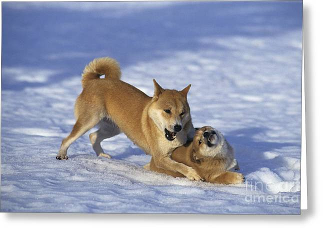 Dog In Snow Greeting Cards - Shiba Inu And Her Puppy Greeting Card by Jean-Louis Klein & Marie-Luce Hubert