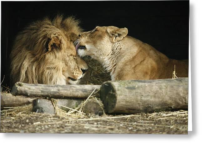 Best Sellers -  - Lioness Greeting Cards - Shiela Loves Matt Greeting Card by Joe Burns