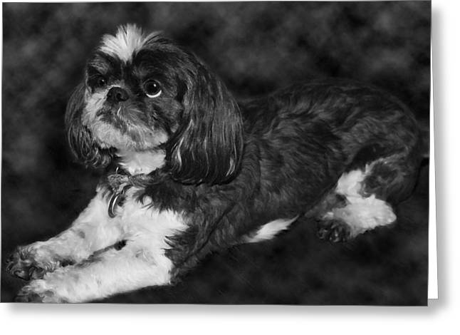 Puppies Photographs Greeting Cards - Shih Tzu Greeting Card by Adam Romanowicz
