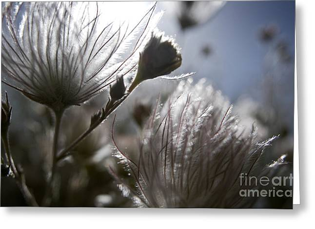 Gray Hair Greeting Cards - Shimmering Flower II Greeting Card by Ray Laskowitz - Printscapes