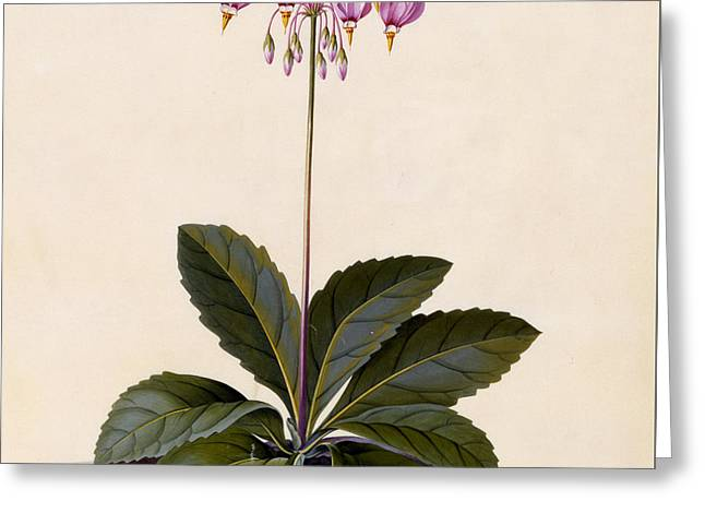 Flower Still Life Prints Greeting Cards - Shooting Star Greeting Card by Georg Dionysius Ehret