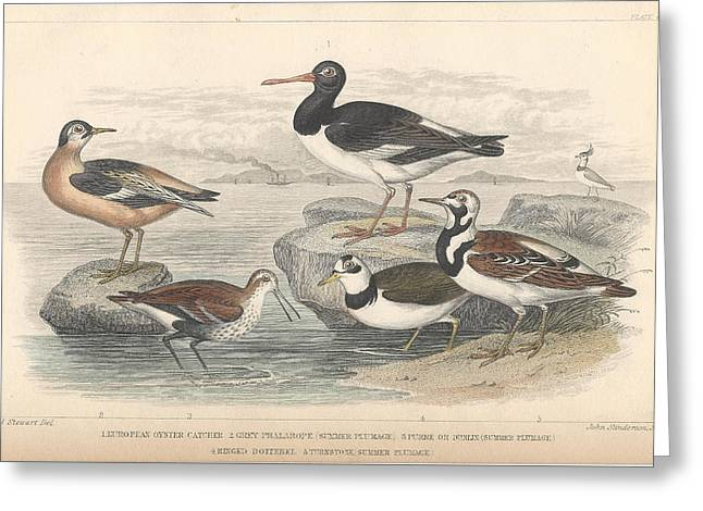 Shorebird Greeting Cards - Shore Birds Greeting Card by Oliver Goldsmith