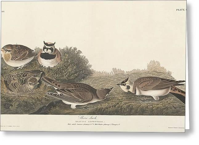 Shore Lark Greeting Card by John James Audubon