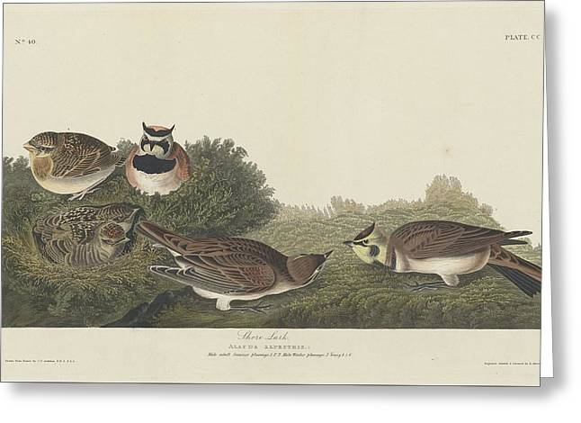 Shorebird Greeting Cards - Shore Lark Greeting Card by John James Audubon