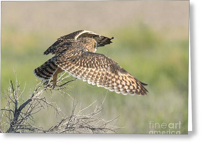 Bird Summit Greeting Cards - Short Eared Owl in Flight Greeting Card by Dennis Hammer