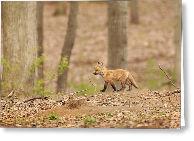 Red Fox Pup Greeting Cards - Short Explorations Greeting Card by Everet Regal