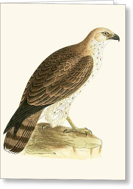 Short Toed Eagle Greeting Card by English School