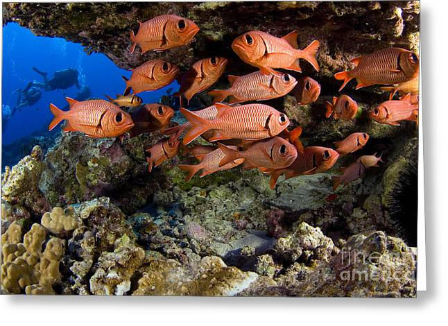 Ocean Art Photos Greeting Cards - Shoulderbar Soldierfish Greeting Card by Dave Fleetham - Printscapes