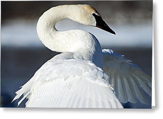 Showing Off Greeting Card by Larry Ricker