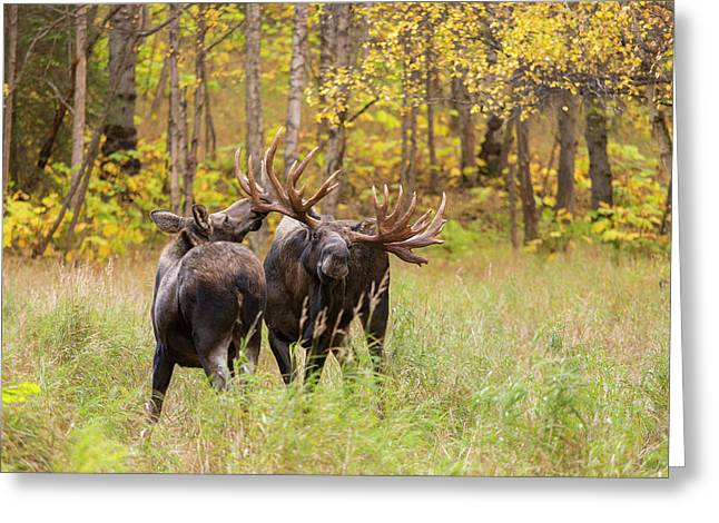 Showing Off The Antlers Greeting Card by Tim Grams