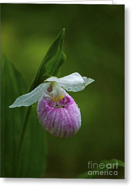 Showy Lady's Slipper.. Greeting Card by Nina Stavlund