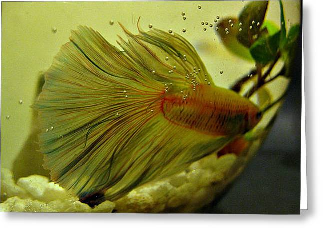 Betta Greeting Cards - Showy Moves Greeting Card by CL Redding
