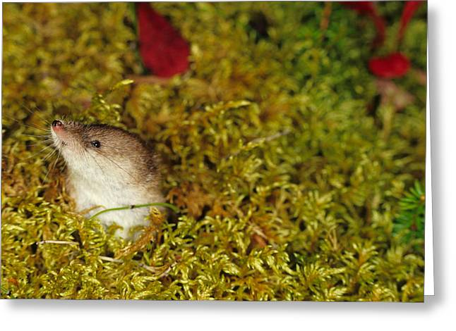 Shrew Pokes Head Out Of Tundra Greeting Card by Michael S. Quinton