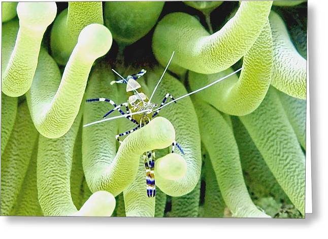 Underwater Photos Greeting Cards - Shrimp and the Anemone Greeting Card by Amy McDaniel
