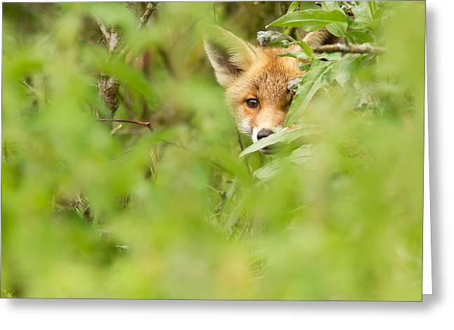 Concern Greeting Cards - ShyFox Greeting Card by Roeselien Raimond