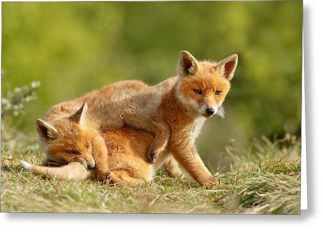 Sibbling Love - Playing Fox Cubs Greeting Card by Roeselien Raimond
