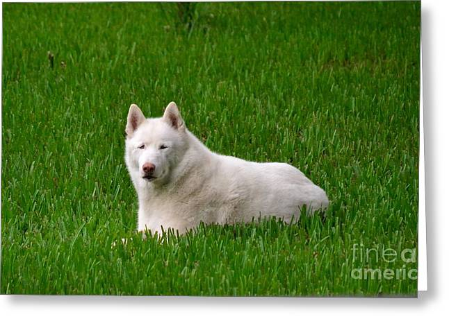 Siberian Husky Greeting Card by Carol  Bradley