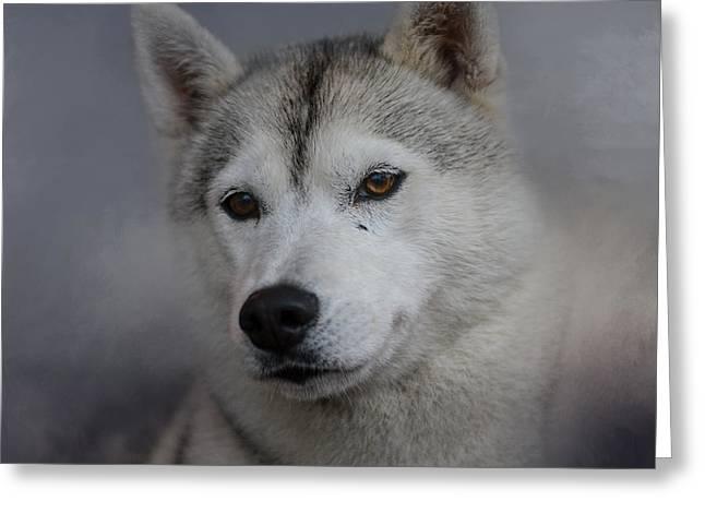 Husky Greeting Cards - Siberian Husky Greeting Card by Jai Johnson