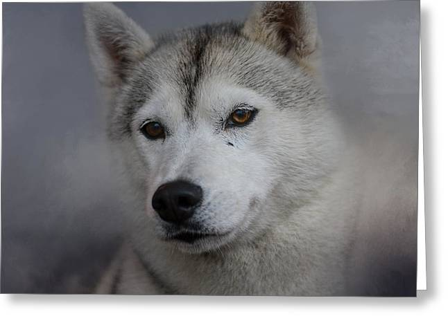 Husky Art Greeting Cards - Siberian Husky Greeting Card by Jai Johnson