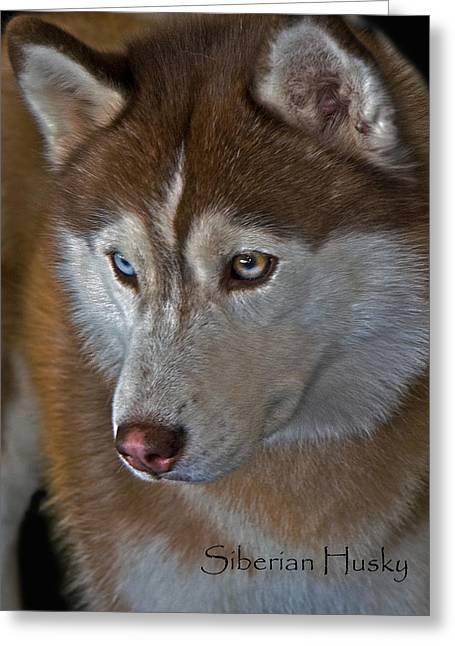 Husky Greeting Cards - Siberian Husky Greeting Card by Larry Linton