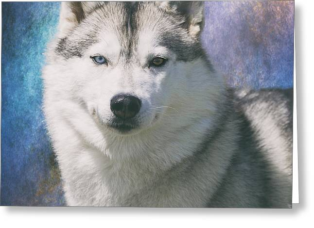 Working Dog Greeting Cards - Siberian Husky Portrait Greeting Card by Wolf Shadow  Photography
