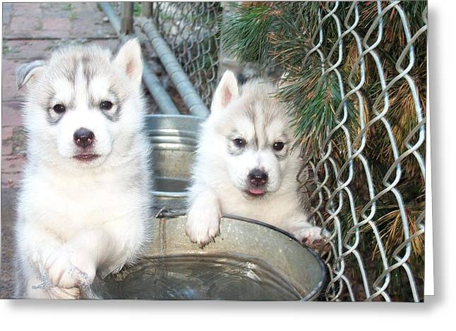 Syberian Greeting Cards - Siberian Husky Puppies Greeting Card by Jean Gugliuzza