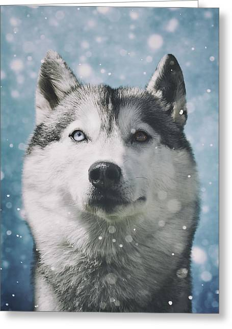 Working Dog Greeting Cards - Siberian Husky with Snowflakes Greeting Card by Wolf Shadow  Photography