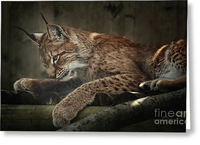 Bobcats Photographs Greeting Cards - Siberian lynx Greeting Card by Shaun Wilkinson