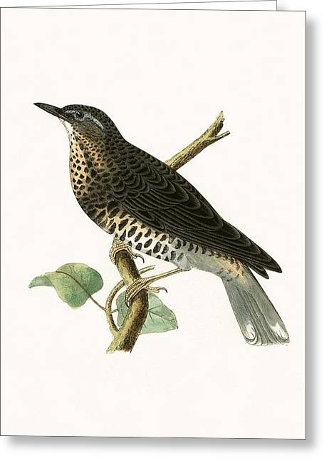 Siberian Thrush Greeting Card by English School