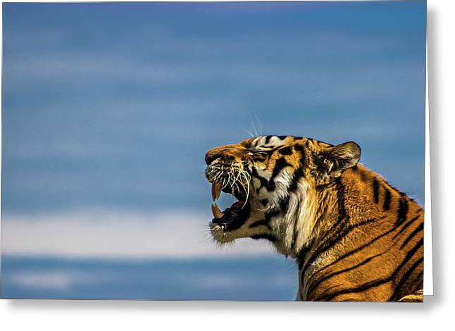 Siberian Tiger Greeting Card by Martin Newman