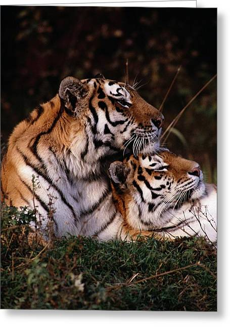The Tiger Greeting Cards - Siberian Tigers Panthera Tigris Altaica Greeting Card by Dr. Maurice G. Hornocker