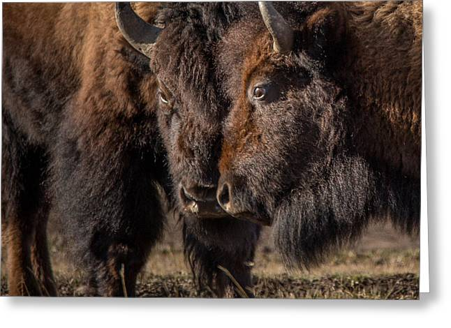 Siblings // Lamar Valley, Yellowstone National Park Greeting Card by Nicholas Parker