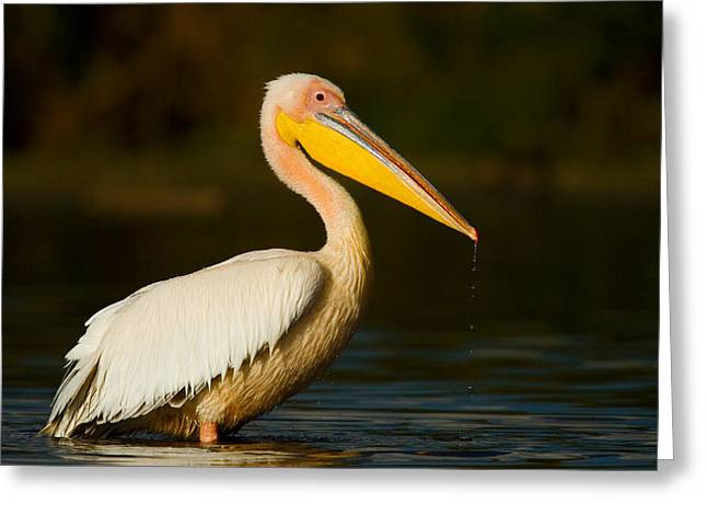 Close Focus Nature Scene Greeting Cards - Side Profile Of A Great White Pelican Greeting Card by Panoramic Images