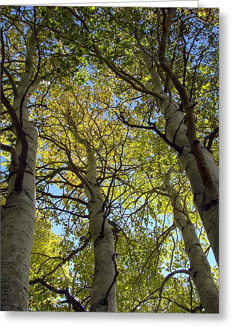 Hope Photographs Greeting Cards - Sierra Nevada Aspen Fall Color Greeting Card by Scott McGuire